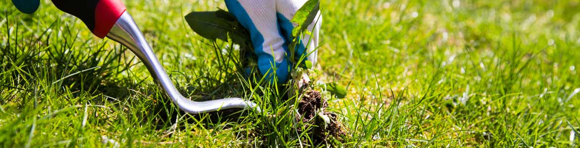 Weeding-Your-Lawn